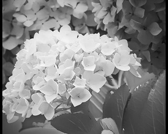 Flower photo - Lombard St. Hydrangea - Botanical - black and white photography - delicate wedding flower 8x8