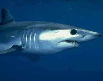 Extinct  MAKO shark tooth. Ma 16
