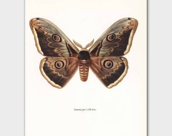 Great Peacock Moth Art (1960s Butterfly Print, Vintage Home Wall Decor) --- Great Peacock Moth No. 128-2