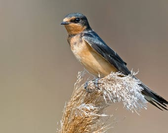 Barn Swallow Photo Print, Large Art Print Nature Photography, Affordable Wall Art