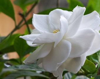 "Gardenia / Fortuniana / Fragrant 2.5"" Pot RT113-D"