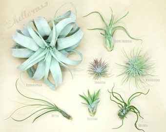 Tillandsia Starter Pack // Air Plants // Hello Tilly Airplants