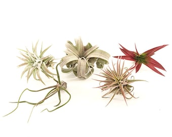 ItsBees 6 Month Air Plant of the Month Club Membership - Live Air Plants - Wedding, Shower, Gift, Home, Garden, Collection - FREE SHIP