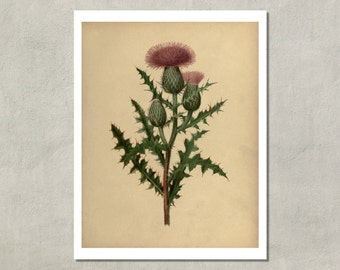 Scottish Thistle Botanical Print, 1880 - 8.5x11 Reproduction Antique Print - also available in 11x14 and 13x19 - see listing details