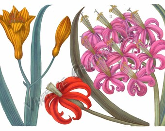 Antique Floral Illustrations for Decoupage, Wall Art Prints, Collages Lily 033