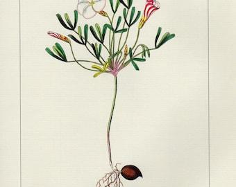 Vintage OXALIS VERSICOLOR Botanical Print Antique Flowers 822 plant print botanical lithograph print bookplate wall art print flower plant