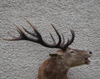 Magnificent red deer stag antlers taxidermy trophy shoulder mount hunting decor