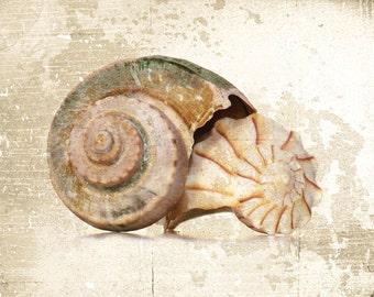 Beach House Decor Rustic Whelk Shells Fine Art Photograph Seashell Ocean Sea Nautical Print