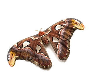 Butterfly photography Custom size fine art photo print The largest moth in the world Attacus Atlas Nursery wall art in brown Butterfly gift