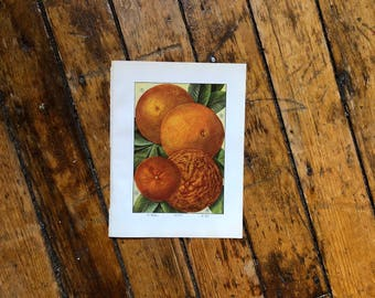 C. 1911 ORANGE PRINT - original antique fruit print - food print - kitchen print - citrus florida tangerine navel king oranges print