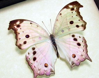 Father's Day Gift Mother Of Pearl Real Framed Butterfly  200
