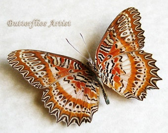 Red Lacewing Cethosia Biblis Real butterfly Framed In Museum Quality Shadowbox