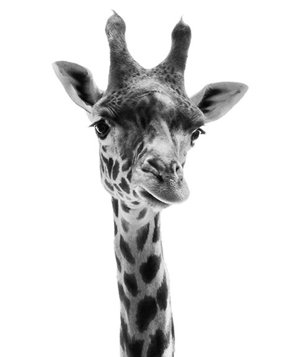 Animal photography giraffe photo black and white 24x36