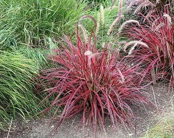 "Fireworks Fountain Grass - 1 Starter Plants - 6"" Tall - Ship in ONE 3"" Pot"
