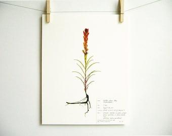 Indian Paintbrush Print, #174, southwestern decor castilleja original herbarium specimen art pressed botanical print red colorado wildflower