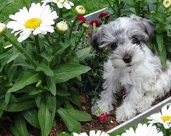 Miniature Schnauzer Dog Tags