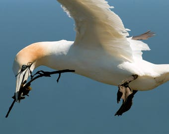 Wildlife Photographic signed mounted A4/A3 Prints of a Gannet
