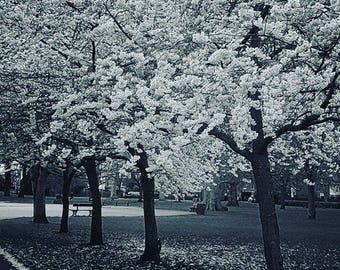 Greeting Card - Ravenscourt Park, Blossom Trees