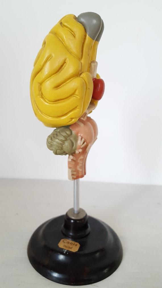 Wunderbar Anatomie Des Hundes Gehirn Fotos - Menschliche Anatomie ...
