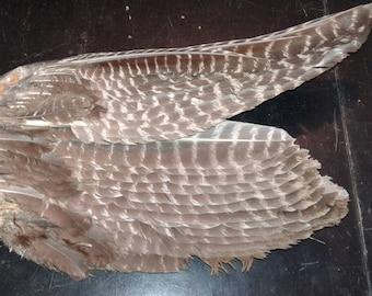 Wild Turkey Wing
