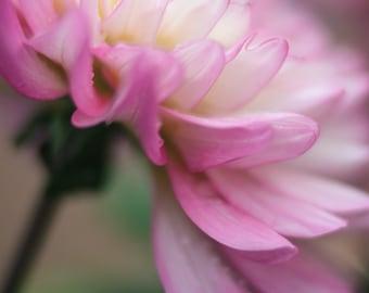 Dahlia photography,romantic dahlia flower print,pink shabby chic art,dahlia in bloom,pink nature photo,dahlia blossom,country farmhouse art.