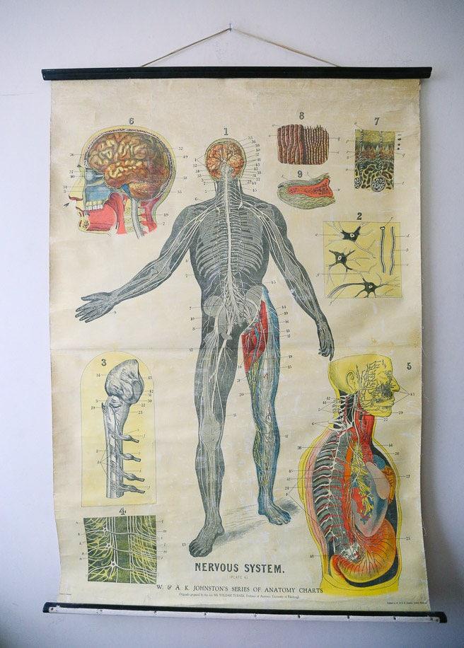 Original anatomischen Vintage British Educational School Wall