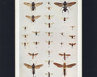 1903 Antique Saw-flies and Horn-tails Entomology Flying Insect Print