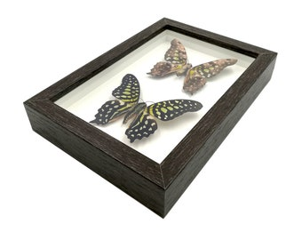 Real 2 Graphium Tailed Jay Front & Back Insect Butterfly Taxidermy Shadowbox Frame Mounted Display Framed Butterflies Home Decor for Gift