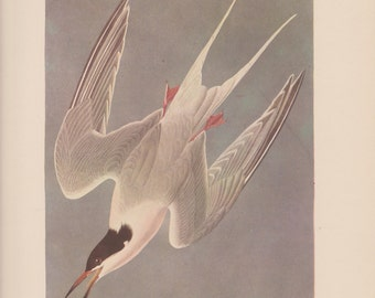 Vintage 1950's Audubon Print, Roseate Tern , Commentary by Roger Tory Peterson, Ornithology, Rustic Decor, Suitable for Framing