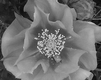 Black & White Cactus Flower