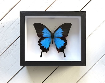 Real framed butterfly: Papilio ulysses // museum quality box // blue butterfly