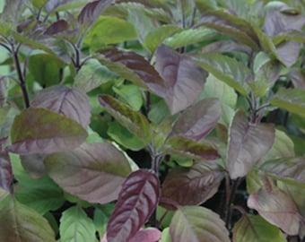 Red Holy Basil Seeds - Krishna Tulsi - Ocimum Sanctum - 200+ seeds!