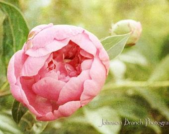 Pink Peonie Flower Print (Paeonia)