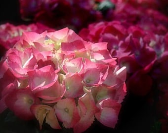 "Hydrangea photograph, pink flower wall art, home decor -- ""Morning Light"", a 5x7-inch fine art photograph"