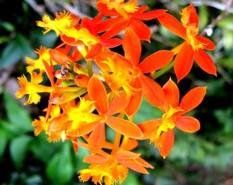 Epidendron ibaguense Reed-stem Orchid Crucifix Flower Tropical Easy Great for Cutting 50+ Seeds #1194