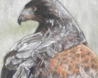 Original Pastel Drawing Painting - Harris Hawk Portrait - OOAK