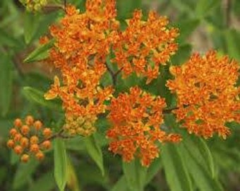 """Butterfly Weed plant. 3.5"""" potted container. Asclepias tuberosa. Chemical free."""