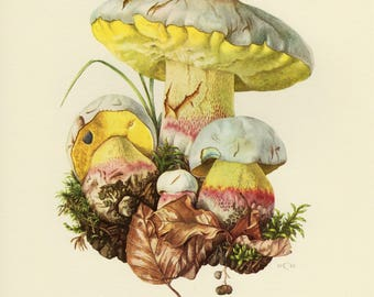 Vintage lithograph of the pale bolete from 1961
