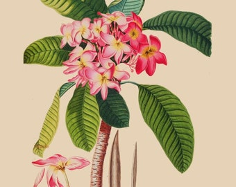 antique french botanical print tropical flower pink plumeria illustration digital download