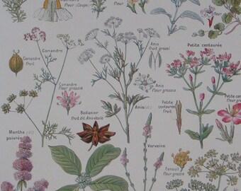Vintage botanical illustration DIGESTIVE PLANTS Flowers and Fruit from French Larousse Medical Illustre Published 1912