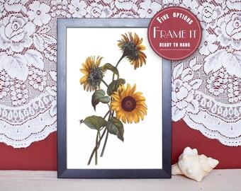 """Vintage illustration of Sunflowers - framed fine art print, flower art, home decor 8""""x10"""" ; 11""""x14"""", FREE SHIPPING - 112"""