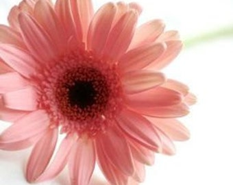 Daisy Seeds, Pyrethrum Pink, Garden Flower, 10 Seeds