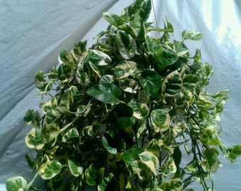 Trailing Pothos N'joy Plant in 6 inch pot