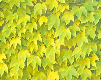 "Photography, Edera, Wall, Green, Yellow, Nature, Leafs, Autumn, Wall Art, Professional Print,  Wall Decor, Art Decor - ""Fall"""