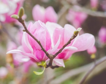 Pink Saucer Magnolia Tree Flower Photography, Blooms, Flowers, Fine Art, Magnolia, Tree Picture, Floral Photography Pink Pastel, Nursery Art