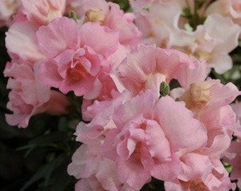 Snapdragon Seeds Apple Blossom, Pink and Pale Gold Blossoms, 25 Seeds