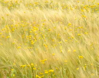 Yellow Flower Field Photographic Print, Wall Art, Nature Photo Print, Flower Image, Flower Field Picture