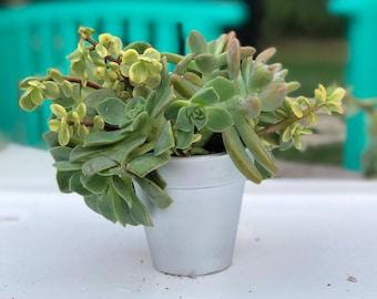 1 Potted Succulent Mini-Arrangement!