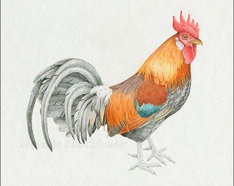 Rooster Colored Pencil Study, Giclee Print