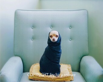 Fine Art Photography Chihuahua Photograph of PINKY NOVAK  in mid century chair Fine Art Photograph